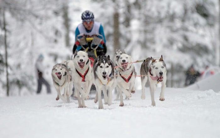 Internationales Schlittenhunderennen Todtmoos